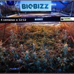 9- Actualización general del cultivo de marihuana orgánico, 4 semanas a 12/12