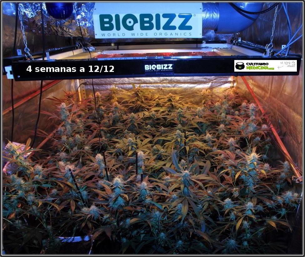 9- Actualización general del cultivo de marihuana orgánico, 4 semanas a 12/12 1
