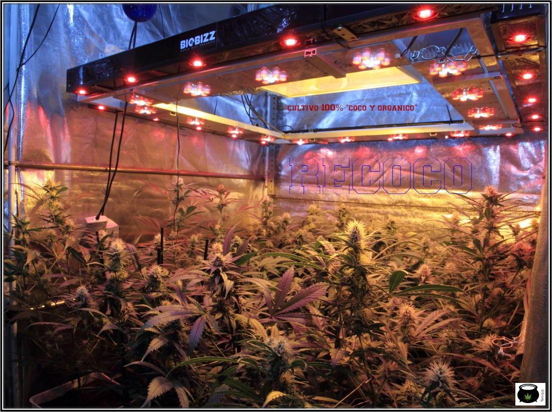 9- Actualización general del cultivo de marihuana orgánico, 4 semanas a 12/12 2