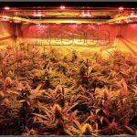 11- Actualización general del cultivo de marihuana, 5 semanas a 12/12