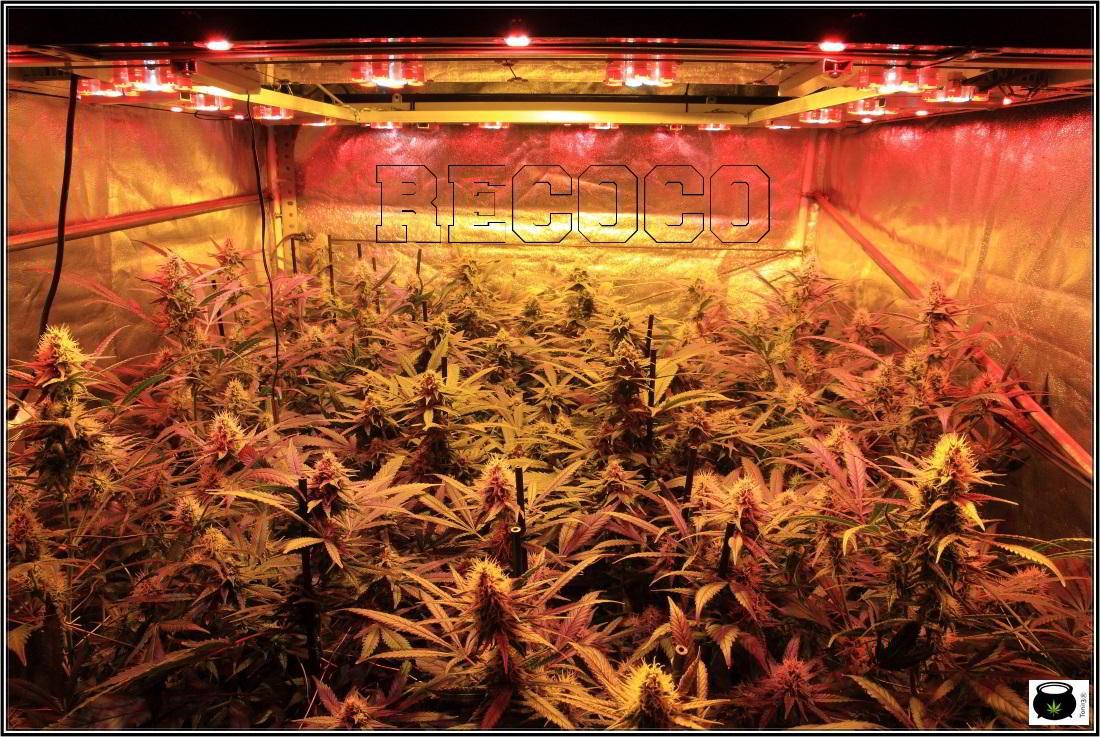 11- Actualización general del cultivo de marihuana, 5 semanas a 12/12 2