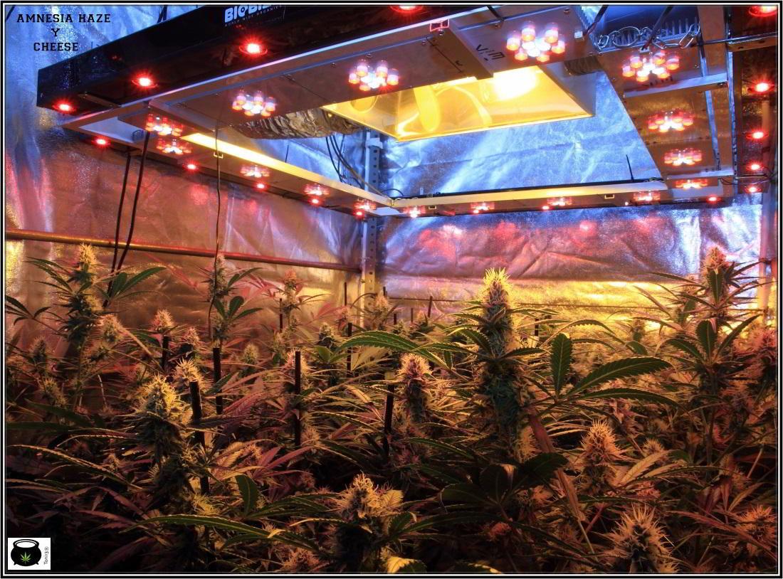 11- Actualización general del cultivo de marihuana, 5 semanas a 12/12 3