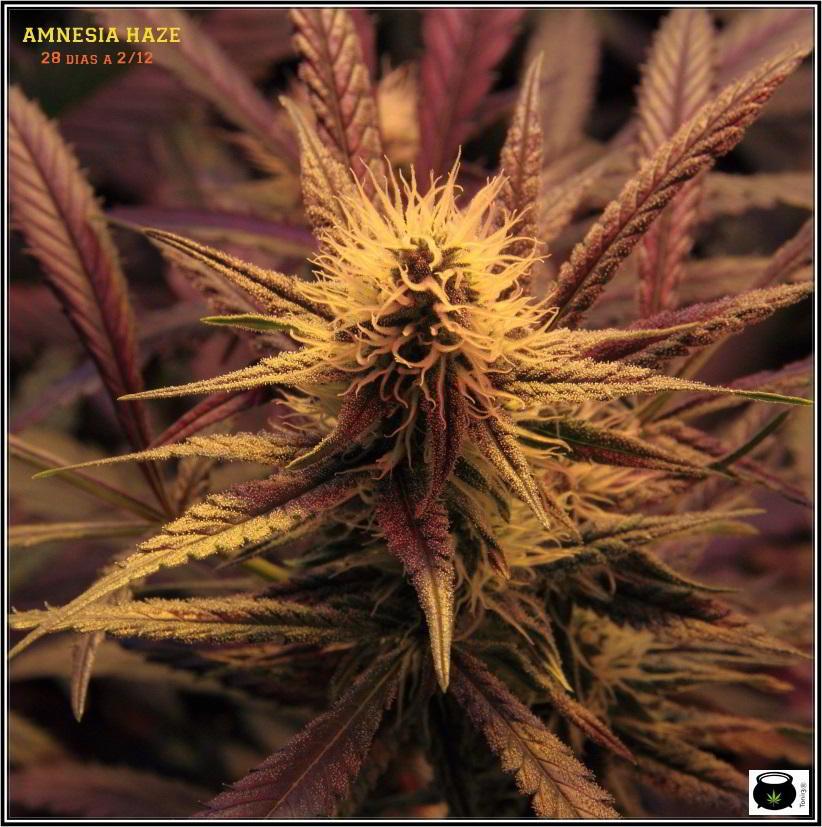 Amensia Haze cultivo de marihuana orgánico, 4 semanas a 12/12 2