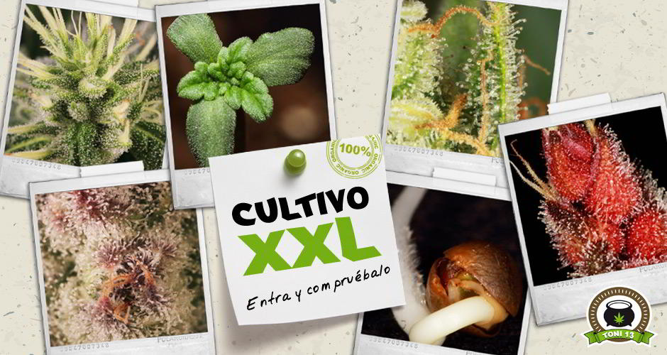 Cultivo XXL