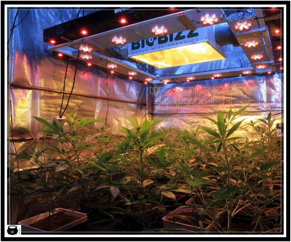 6- Actualización general del cultivo de marihuana, 13 días a 12/12 2