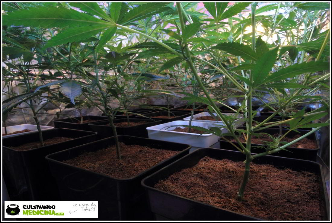 6- Actualización general del cultivo de marihuana, 13 días a 12/12 3