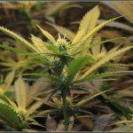 7- Cultivo de marihuana a 17 días a 12/12, ya están aquí