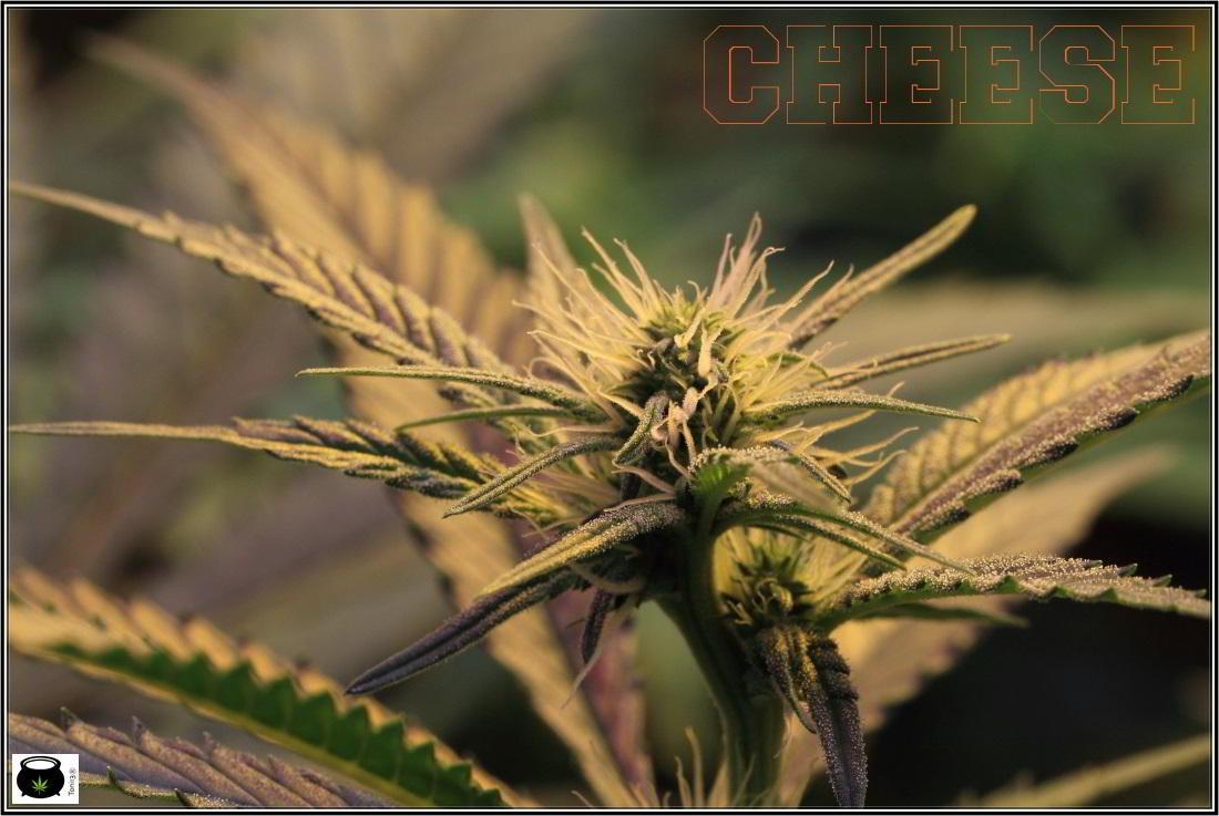 7- Cultivo de marihuana a 17 días a 12/12, ya están aquí 2