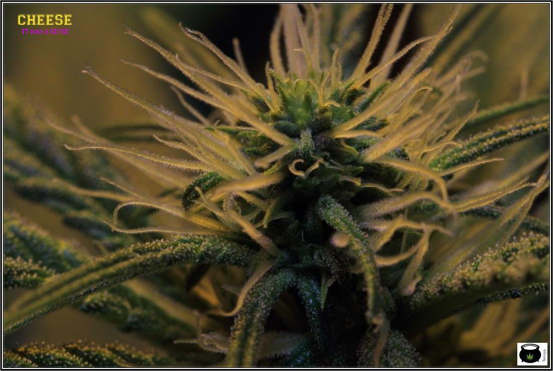 7- Cultivo de marihuana a 17 días a 12/12, ya están aquí 3