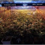 8- Actualización general del cultivo de marihuana, 3 semanas a 12/12.