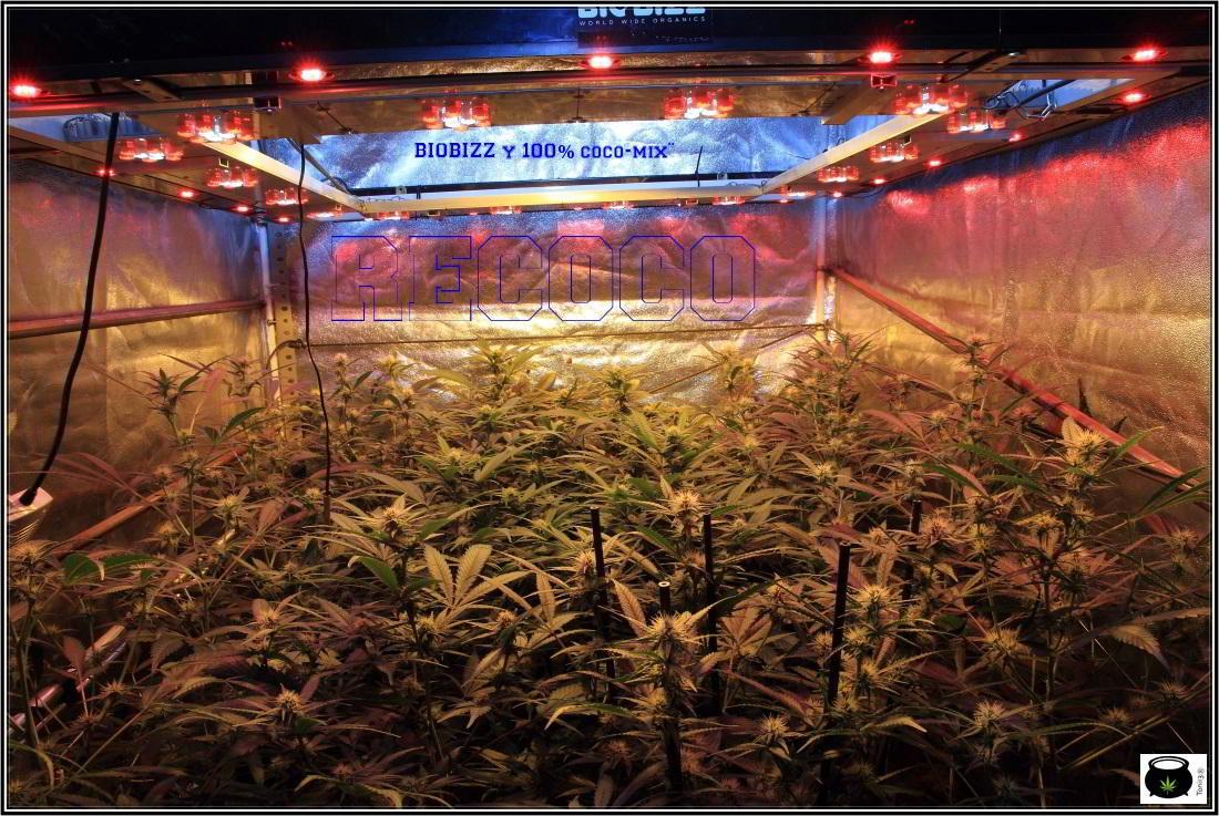 8- Actualización general del cultivo de marihuana, 3 semanas a 12/12. 3