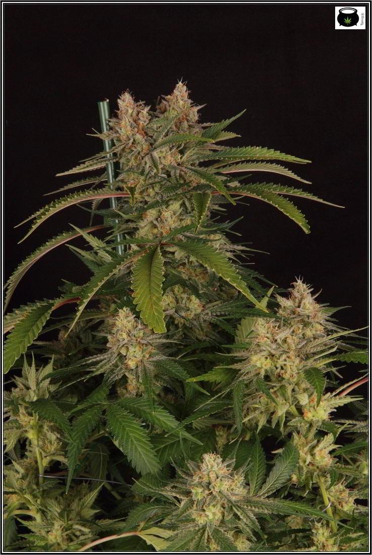 Poda FIM pellizco apical en planta de marihuana