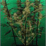 10- Variedad de marihuana Amnesia haze, poda apical, 30 días a 12/12