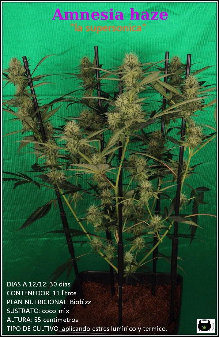10- Variedad de marihuana Amnesia haze, poda apical, 30 días a 12/12 1