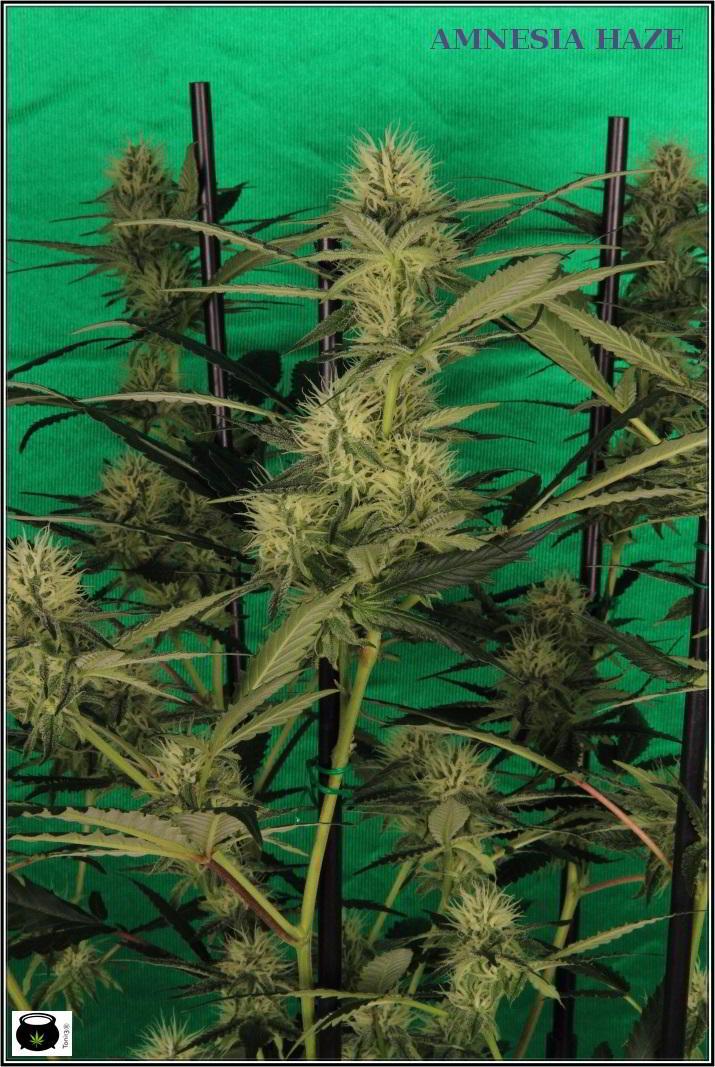 10- Variedad de marihuana Amnesia haze, poda apical, 30 días a 12/12 2
