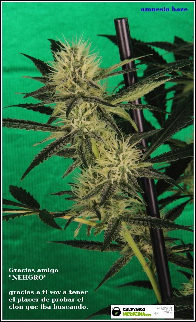 10- Variedad de marihuana Amnesia haze, poda apical, 30 días a 12/12 3