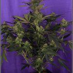 12- Variedad de marihuana Cheese, 38 días a 12/12.