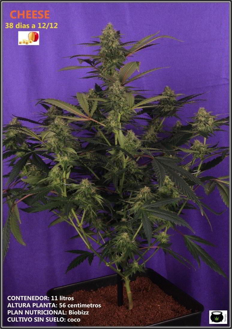 12- Variedad de marihuana Cheese, 38 días a 12/12. 1