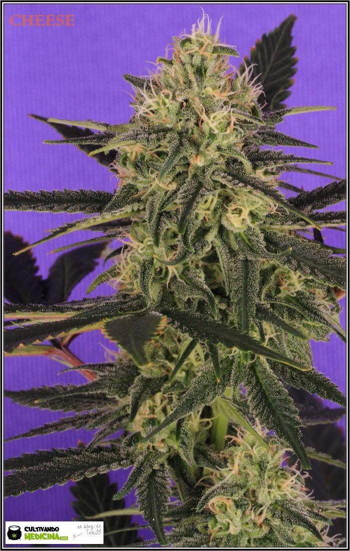 12- Variedad de marihuana Cheese, 38 días a 12/12. 2