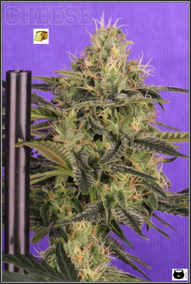 12- Variedad de marihuana Cheese, 38 días a 12/12. 3