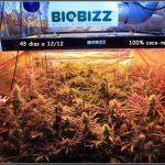 14- Actualización general del cultivo de marihuana, 43 días a 12/12.