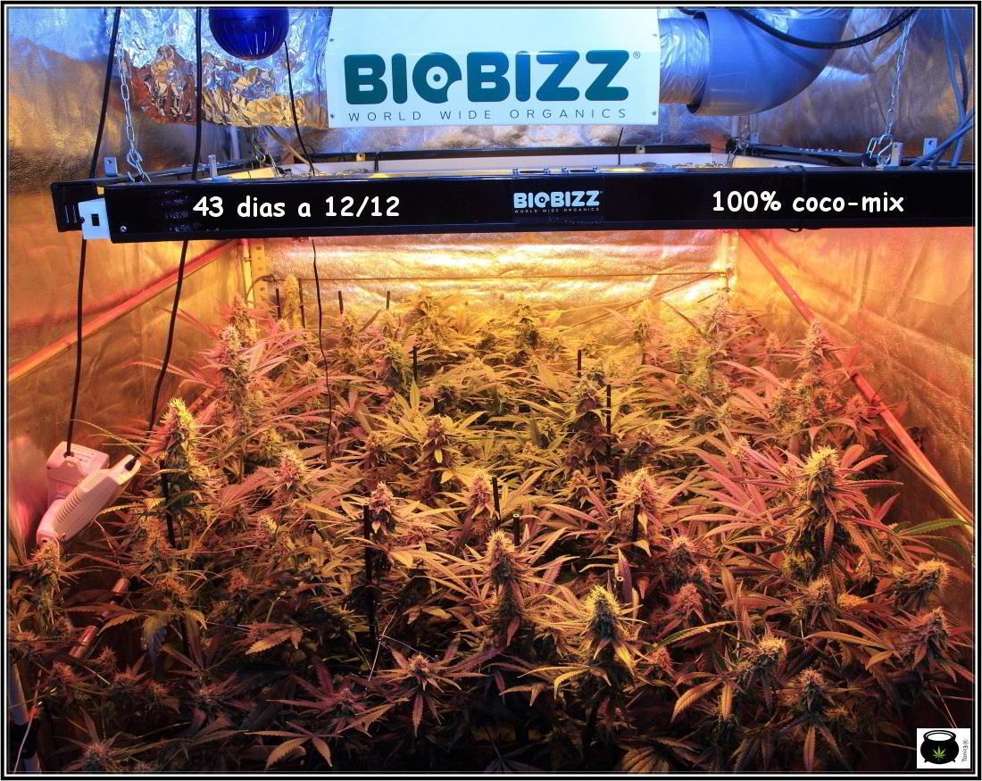 14- Actualización general del cultivo de marihuana, 43 días a 12/12 1
