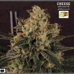 16- Estado de la variedad de marihuana Cheese. El queso esta madurando