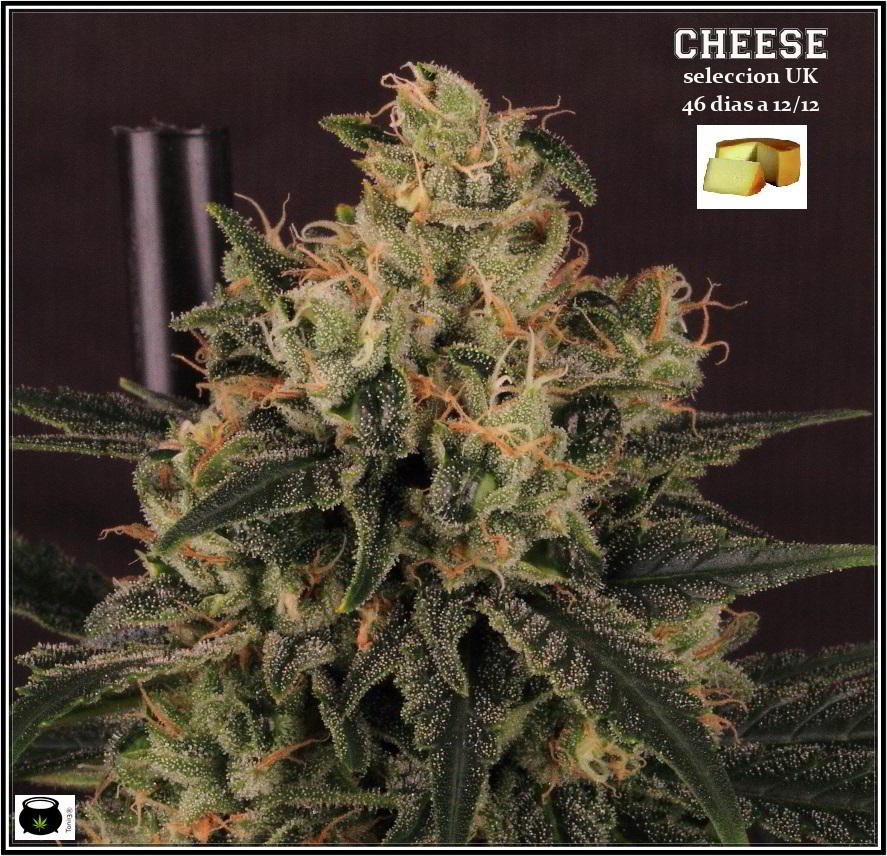 16- Estado de la variedad de marihuana Cheese. El queso esta madurando 1