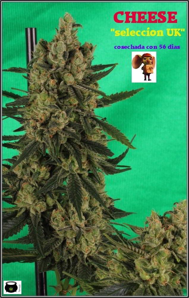 cultivo orgánico Variedad de marihuana cheese sensi seeds 1