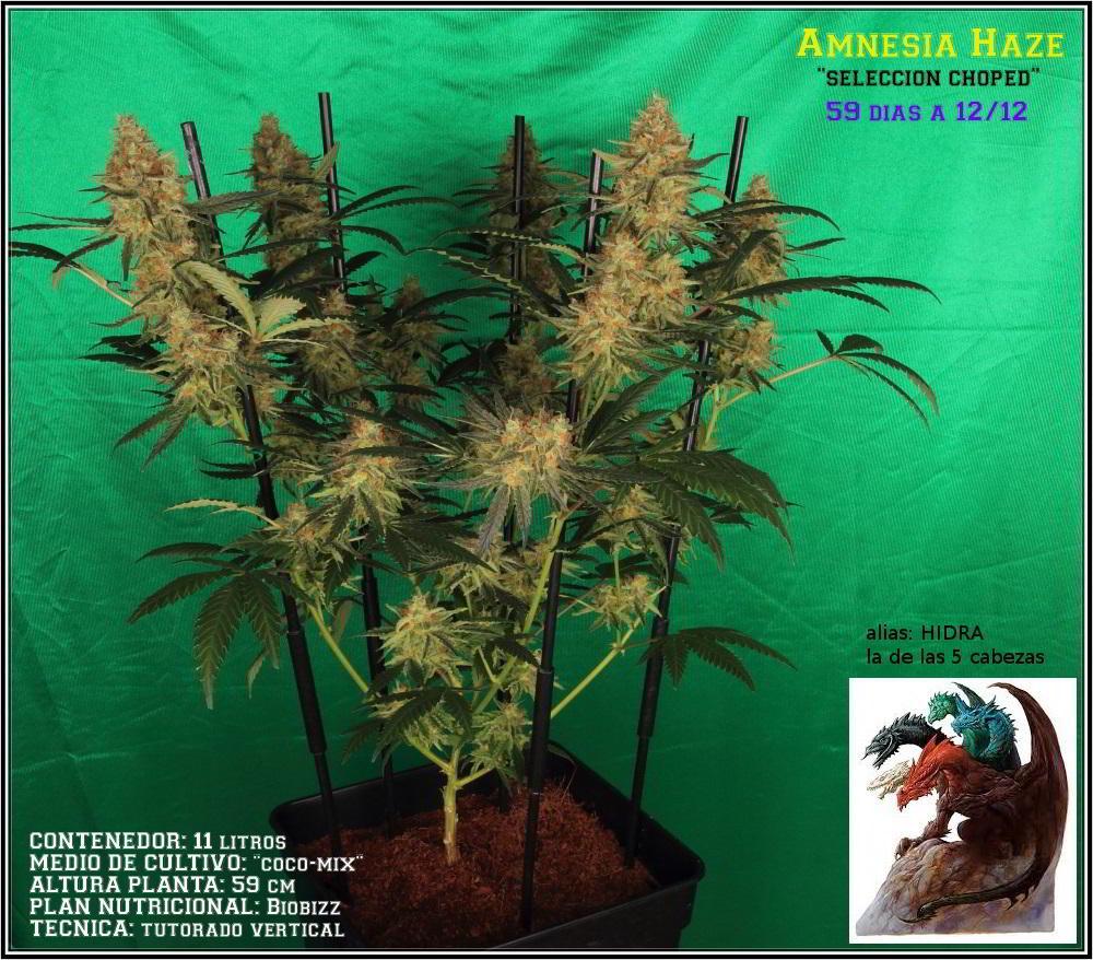 planta de marihuana Amnesia Haze Hidra 1