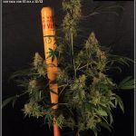 22- Variedad de marihuana Amnesia Haze cortada con 61 días a 12/12