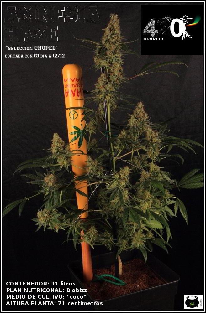 22- Variedad de marihuana Amnesia Haze la cordobesa cortada 1