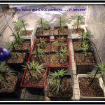 """2- Día """"D"""" hora """"0"""", paso a floración el cultivo de marihuana"""