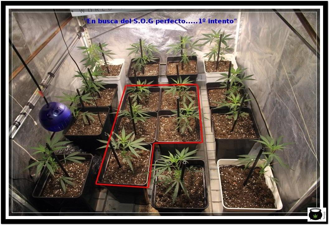 """2- Día """"D"""" hora """"0"""", paso a floración el cultivo de marihuana 1"""