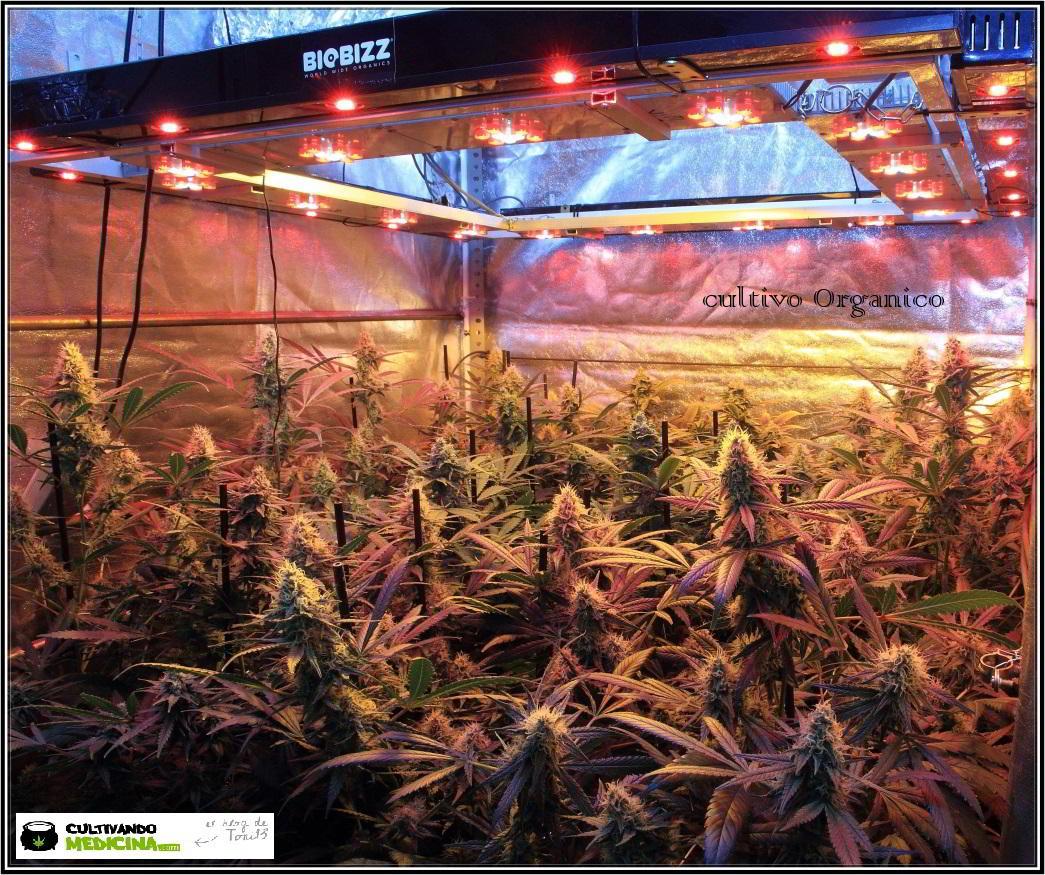 14- Actualización general del cultivo de marihuana, 43 días a 12/12 2