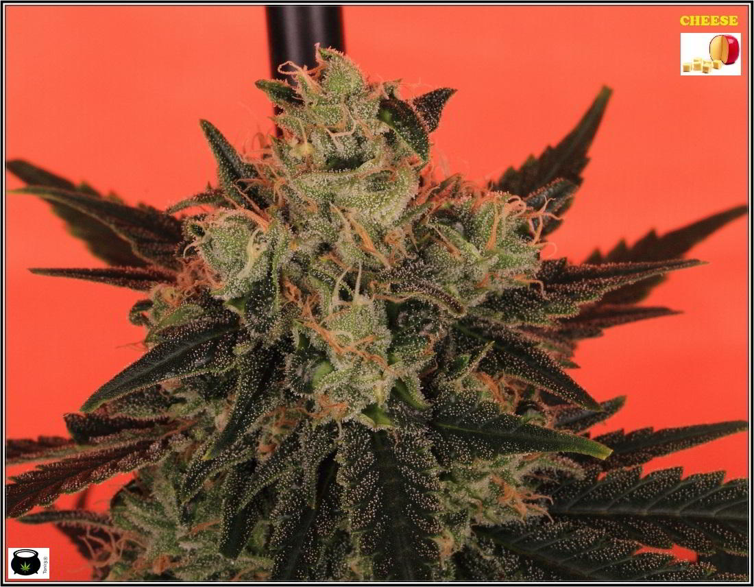 16- Estado de la variedad de marihuana Cheese. El queso esta madurando 2
