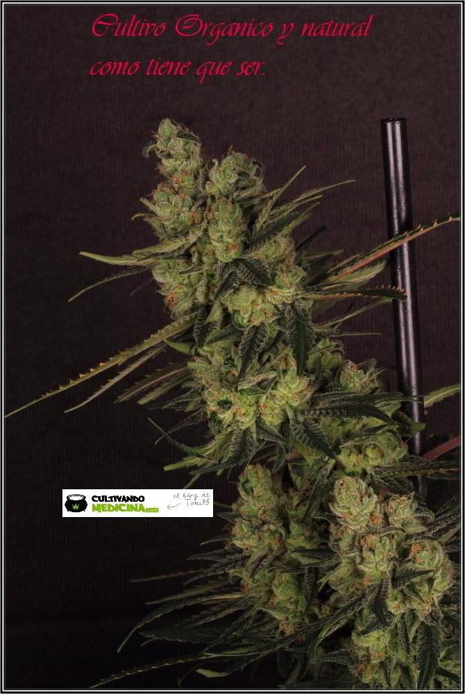 18- Y después del lavado de raíces del cultivo de marihuana, afilando la tijera. 2