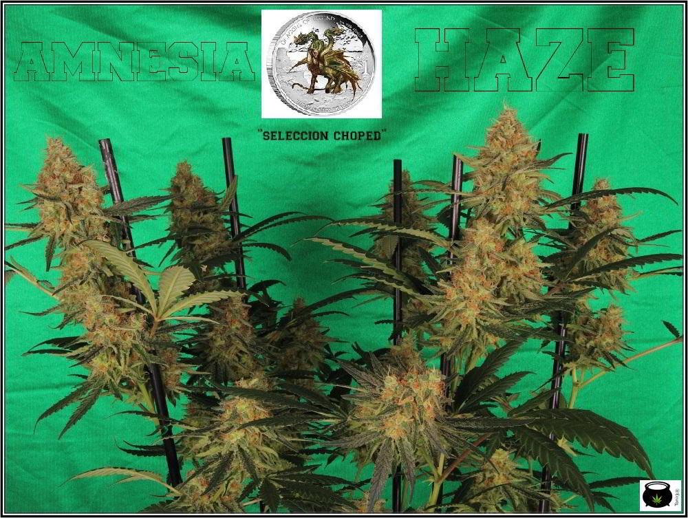 planta de marihuana Amnesia Haze Hidra 2