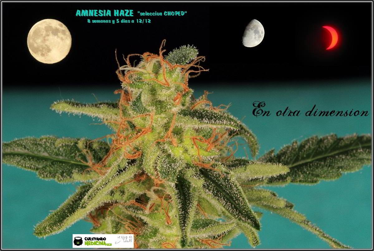 22- Variedad de marihuana Amnesia Haze la cordobesa cortada 2