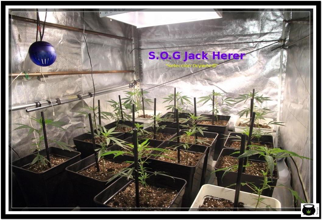 """2- Día """"D"""" hora """"0"""", paso a floración el cultivo de marihuana 2"""