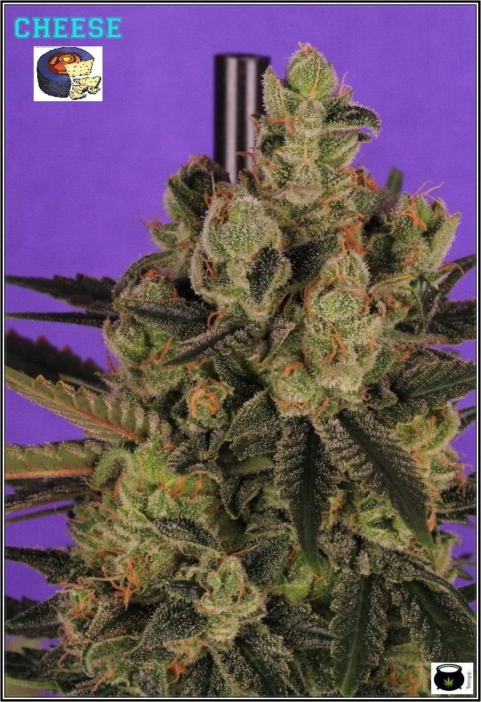 cultivo orgánico Variedad de marihuana cheese sensi seeds 3