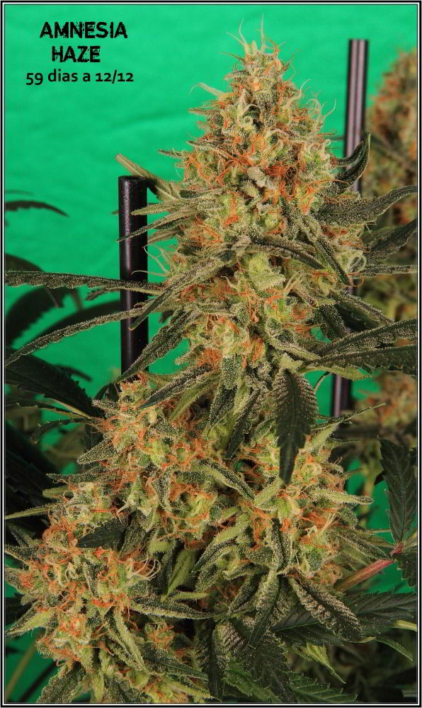 planta de marihuana Amnesia Haze Hidra 3