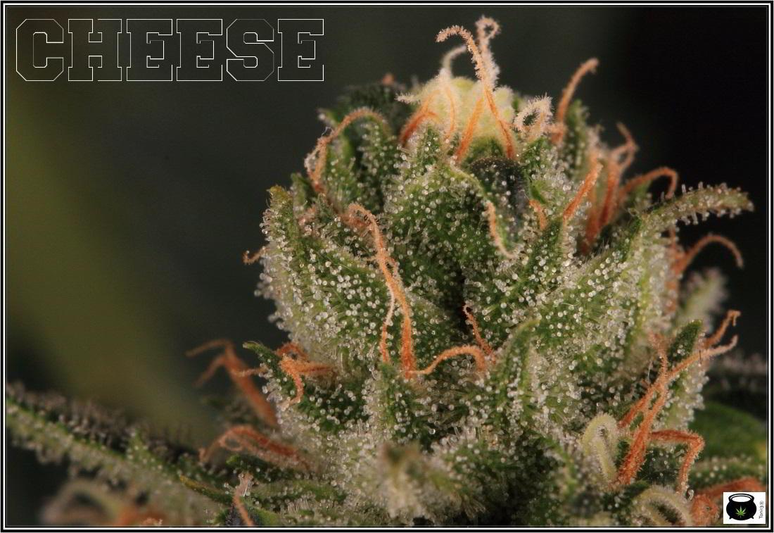 16- Estado de la variedad de marihuana Cheese. El queso esta madurando 4