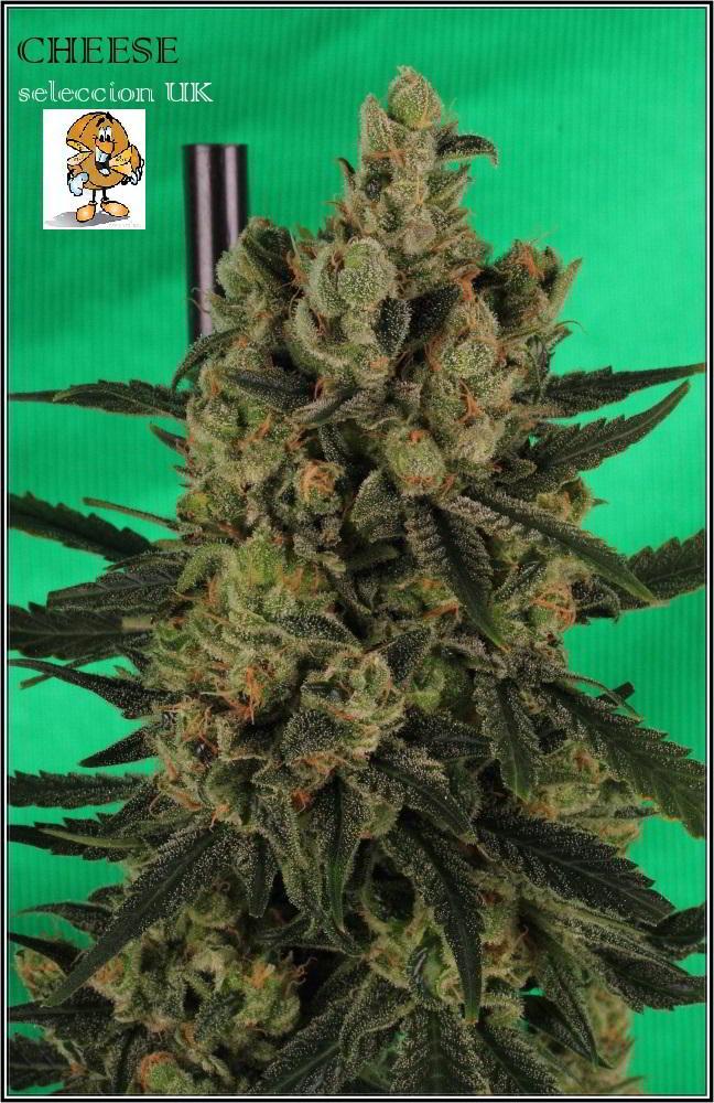 cultivo orgánico Variedad de marihuana cheese sensi seeds 4