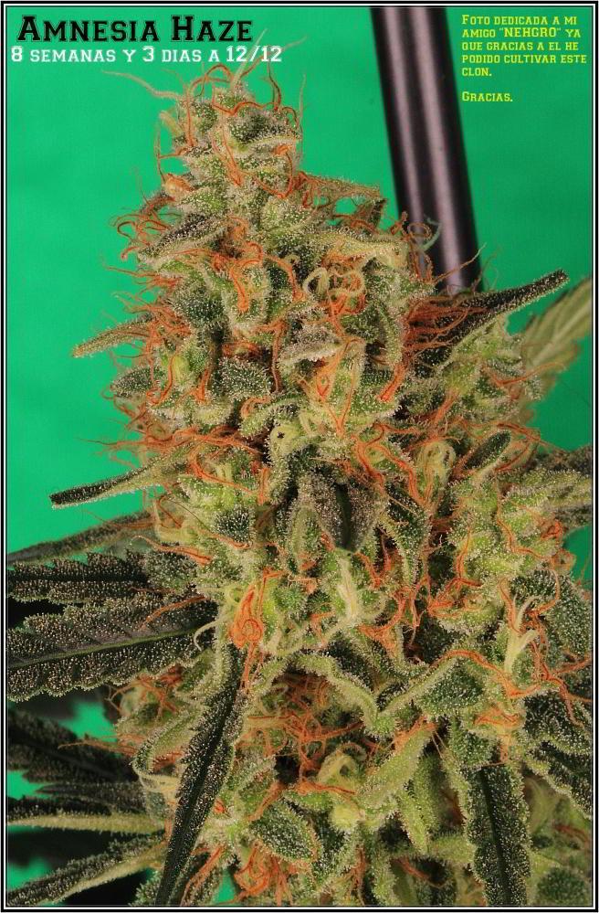 planta de marihuana Amnesia Haze Hidra 4