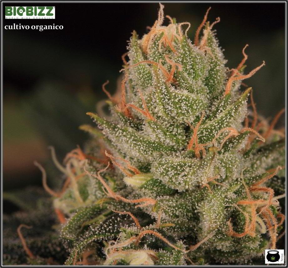 16- Estado de la variedad de marihuana Cheese. El queso esta madurando 5