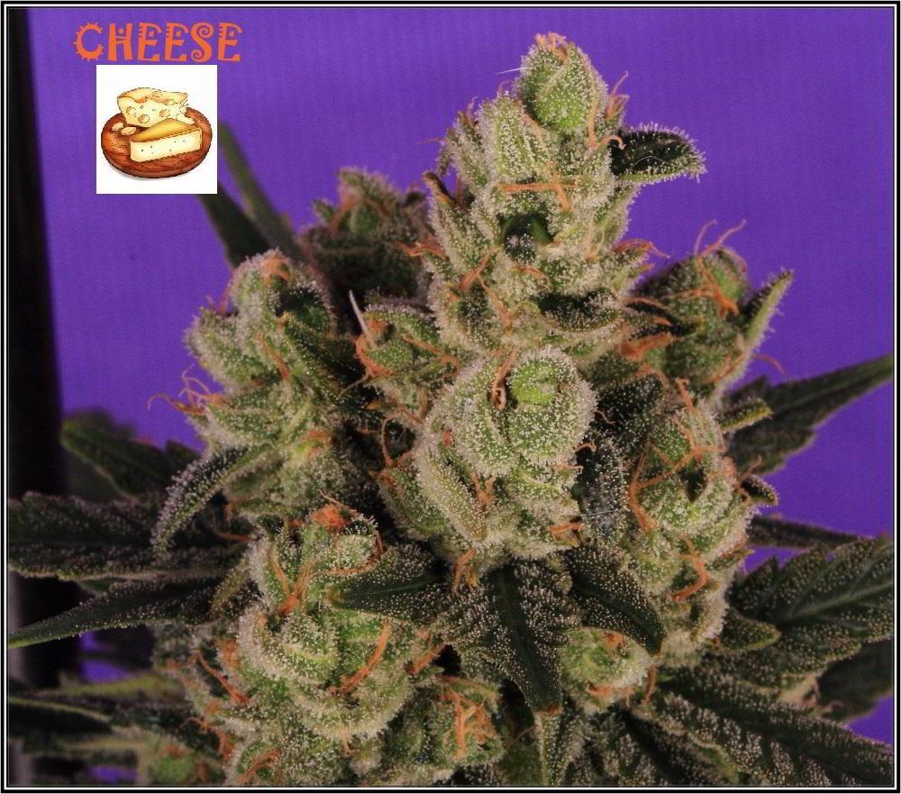cultivo orgánico Variedad de marihuana cheese sensi seeds 5