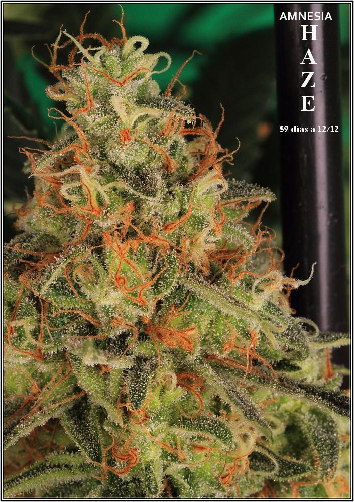 planta de marihuana Amnesia Haze Hidra 5
