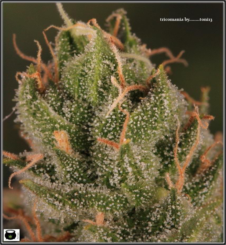 16- Estado de la variedad de marihuana Cheese. El queso esta madurando 6