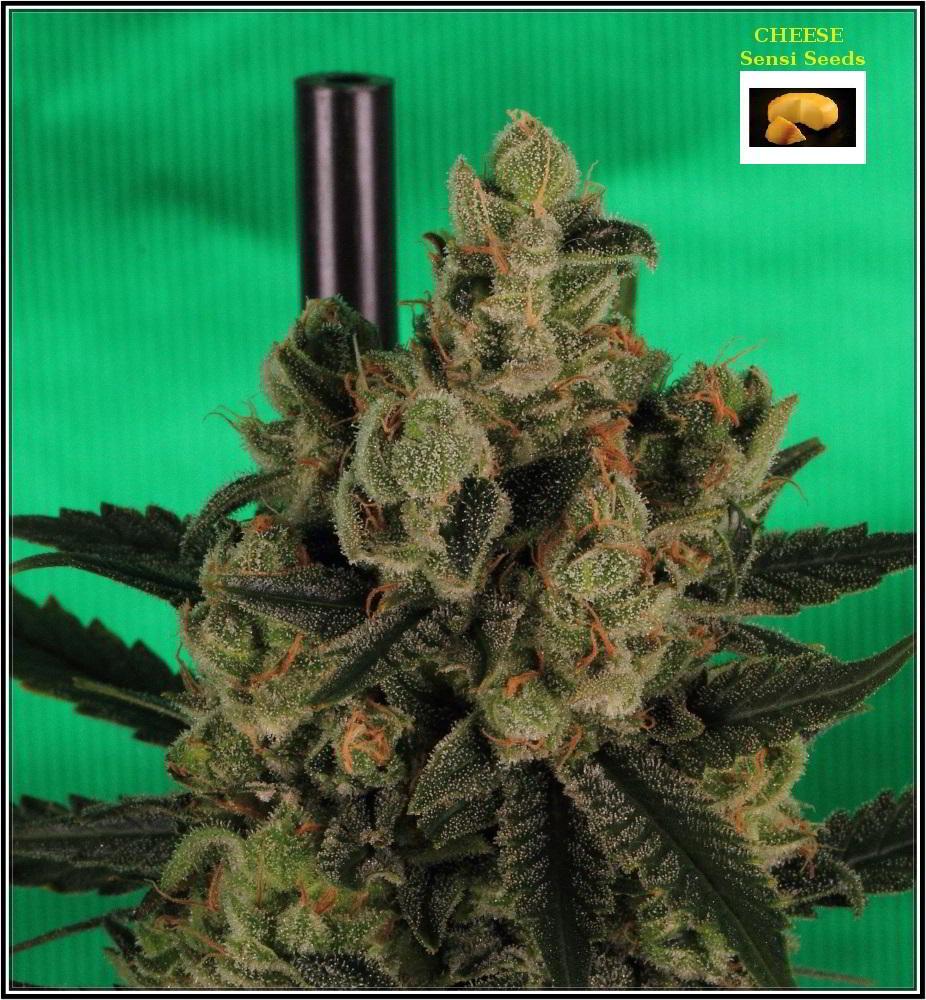 cultivo orgánico Variedad de marihuana cheese sensi seeds 6